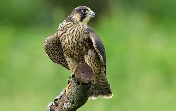 Сапсан-птица-Описание-особенности-виды-образ-жизни-и-среда-обитания-сапсана-4