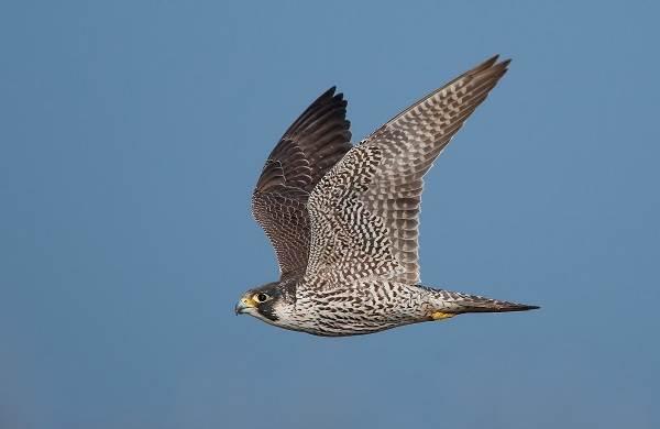 Сапсан-птица-Описание-особенности-виды-образ-жизни-и-среда-обитания-сапсана-5
