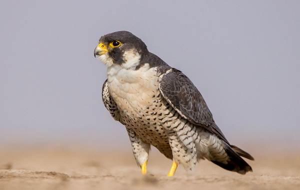 Сапсан-птица-Описание-особенности-виды-образ-жизни-и-среда-обитания-сапсана-6