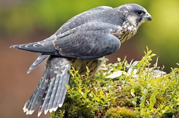 Сапсан-птица-Описание-особенности-виды-образ-жизни-и-среда-обитания-сапсана-7