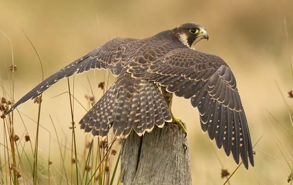 Сапсан-птица-Описание-особенности-виды-образ-жизни-и-среда-обитания-сапсана-8