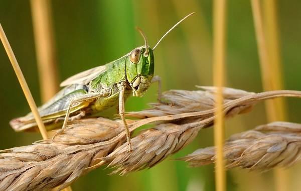 Саранча-насекомое-Описание-особенности-образ-жизни-и-среда-обитания-саранчи-1