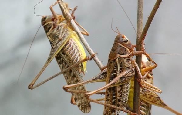 Саранча-насекомое-Описание-особенности-образ-жизни-и-среда-обитания-саранчи-10