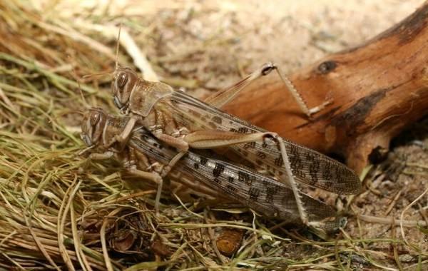 Саранча-насекомое-Описание-особенности-образ-жизни-и-среда-обитания-саранчи-11