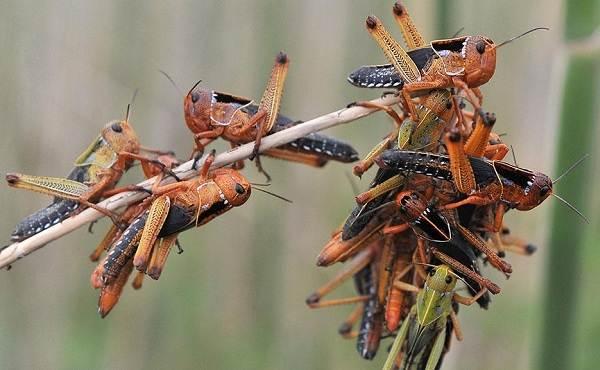 Саранча-насекомое-Описание-особенности-образ-жизни-и-среда-обитания-саранчи-12