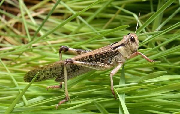 Саранча-насекомое-Описание-особенности-образ-жизни-и-среда-обитания-саранчи-14