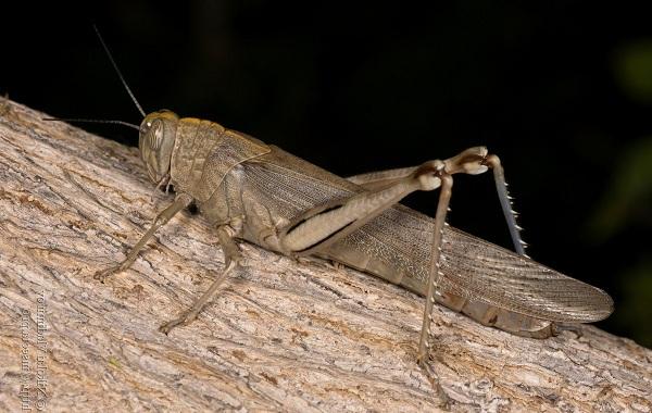Саранча-насекомое-Описание-особенности-образ-жизни-и-среда-обитания-саранчи-15