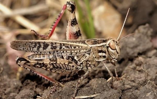 Саранча-насекомое-Описание-особенности-образ-жизни-и-среда-обитания-саранчи-16