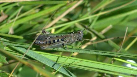 Саранча насекомое. Описание, особенности, образ жизни и среда обитания саранчи