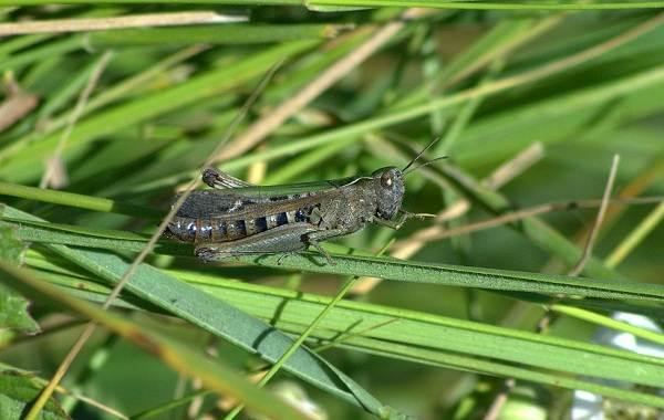 Саранча-насекомое-Описание-особенности-образ-жизни-и-среда-обитания-саранчи-2