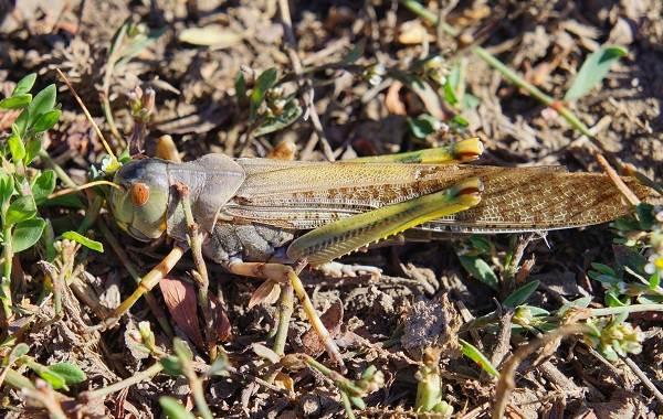 Саранча-насекомое-Описание-особенности-образ-жизни-и-среда-обитания-саранчи-3
