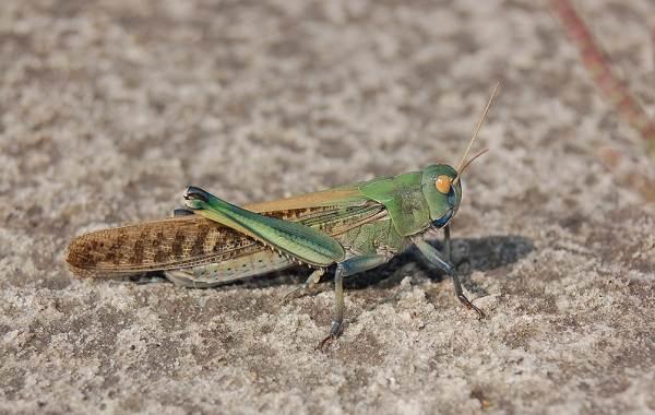 Саранча-насекомое-Описание-особенности-образ-жизни-и-среда-обитания-саранчи-5