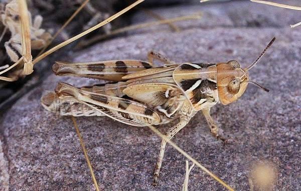 Саранча-насекомое-Описание-особенности-образ-жизни-и-среда-обитания-саранчи-6