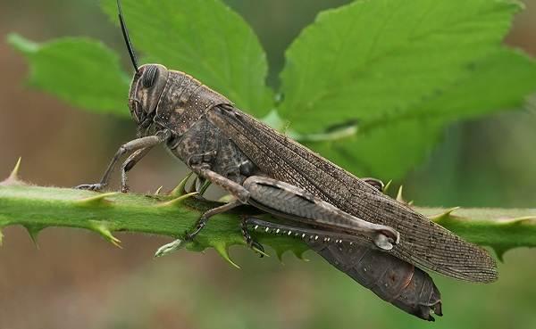 Саранча-насекомое-Описание-особенности-образ-жизни-и-среда-обитания-саранчи-7