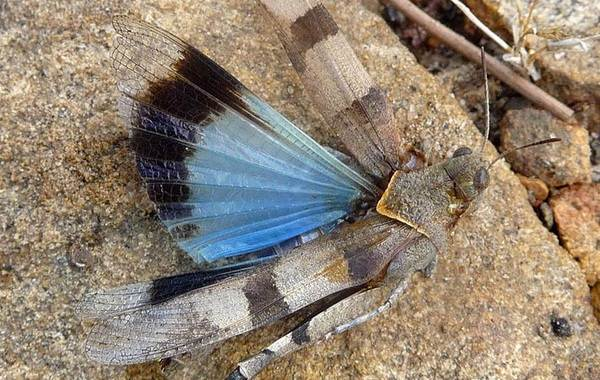 Саранча-насекомое-Описание-особенности-образ-жизни-и-среда-обитания-саранчи-8