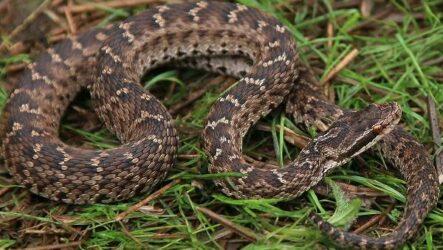 Щитомордник змея. Описание, особенности, виды, образ жизни и среда обитания щитомордника