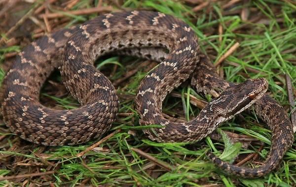 Щитомордник-змея-Описание-особенности-виды-образ-жизни-и-среда-обитания-щитомордника-1