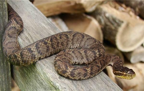 Щитомордник-змея-Описание-особенности-виды-образ-жизни-и-среда-обитания-щитомордника-10