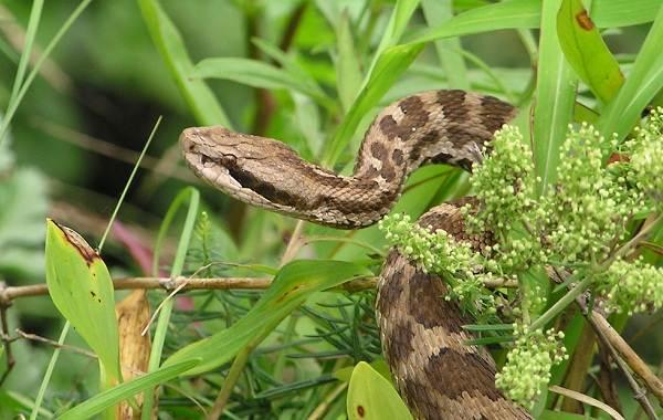 Щитомордник-змея-Описание-особенности-виды-образ-жизни-и-среда-обитания-щитомордника-12