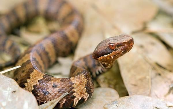 Щитомордник-змея-Описание-особенности-виды-образ-жизни-и-среда-обитания-щитомордника-5