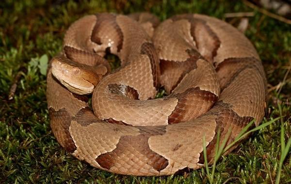 Щитомордник-змея-Описание-особенности-виды-образ-жизни-и-среда-обитания-щитомордника-6