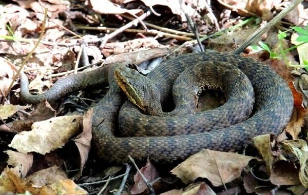 Щитомордник-змея-Описание-особенности-виды-образ-жизни-и-среда-обитания-щитомордника-9