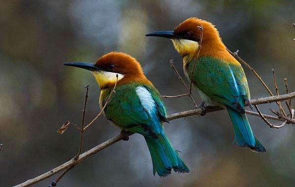 Щурка-птица-Описание-особенности-виды-образ-жизни-и-среда-обитания-щурки-13