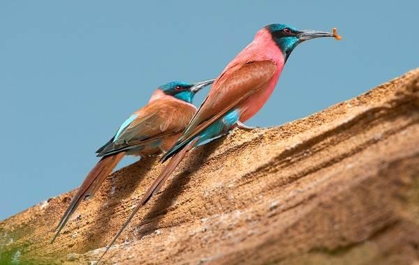 Щурка-птица-Описание-особенности-виды-образ-жизни-и-среда-обитания-щурки-14