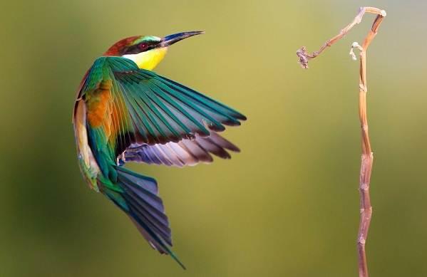 Щурка-птица-Описание-особенности-виды-образ-жизни-и-среда-обитания-щурки-18