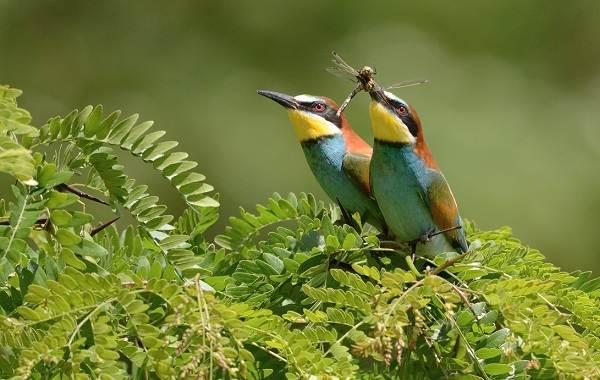 Щурка-птица-Описание-особенности-виды-образ-жизни-и-среда-обитания-щурки-19