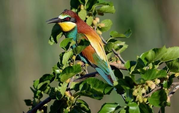 Щурка-птица-Описание-особенности-виды-образ-жизни-и-среда-обитания-щурки-2