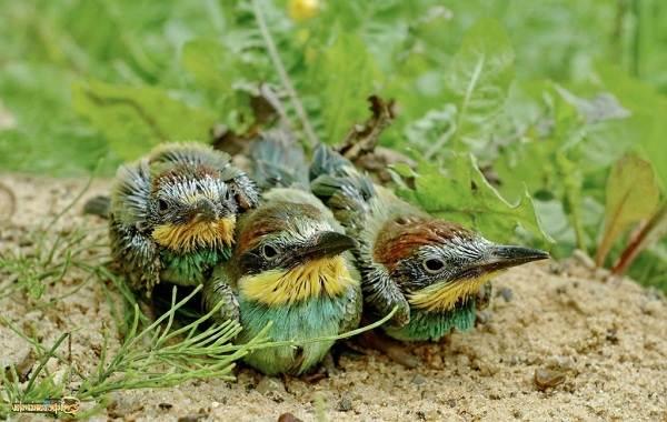 Щурка-птица-Описание-особенности-виды-образ-жизни-и-среда-обитания-щурки-21