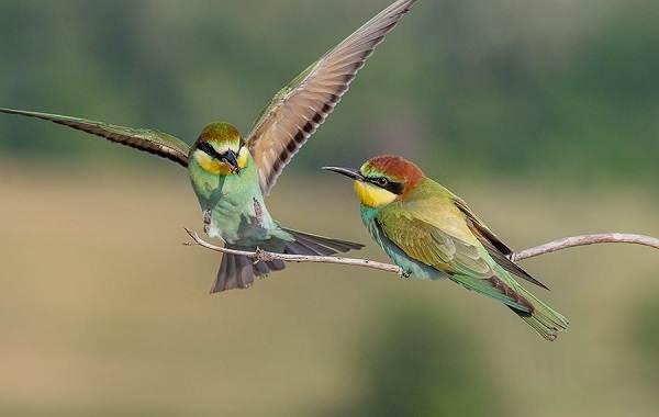 Щурка-птица-Описание-особенности-виды-образ-жизни-и-среда-обитания-щурки-3