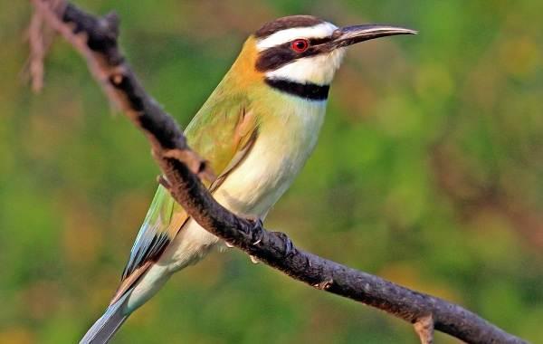 Щурка-птица-Описание-особенности-виды-образ-жизни-и-среда-обитания-щурки-4
