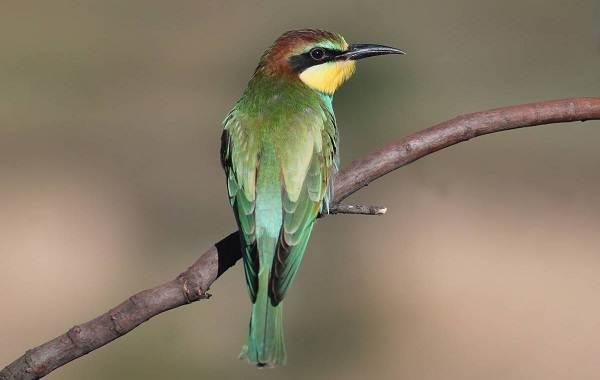 Щурка-птица-Описание-особенности-виды-образ-жизни-и-среда-обитания-щурки-6