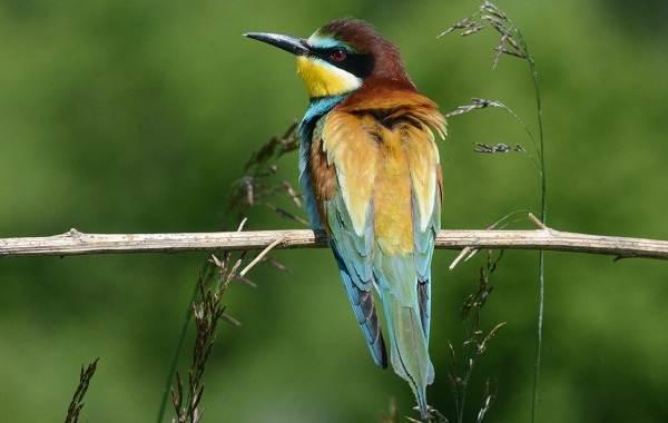 Щурка-птица-Описание-особенности-виды-образ-жизни-и-среда-обитания-щурки-7