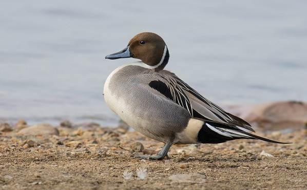 Шилохвость-птица-Описание-особенности-виды-образ-жизни-и-среда-обитания-шилохвости-1