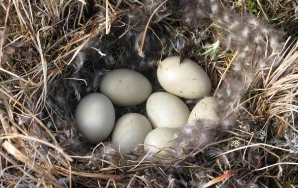 Шилохвость-птица-Описание-особенности-виды-образ-жизни-и-среда-обитания-шилохвости-10