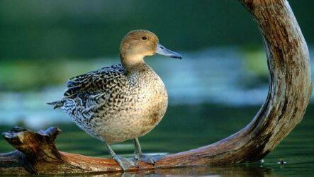 Шилохвость птица. Описание, особенности, виды, образ жизни и среда обитания шилохвости