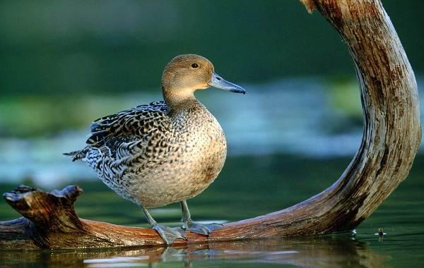 Шилохвость-птица-Описание-особенности-виды-образ-жизни-и-среда-обитания-шилохвости-11