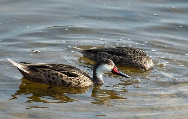 Шилохвость-птица-Описание-особенности-виды-образ-жизни-и-среда-обитания-шилохвости-12