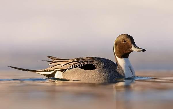 Шилохвость-птица-Описание-особенности-виды-образ-жизни-и-среда-обитания-шилохвости-3