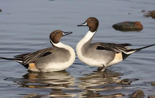 Шилохвость-птица-Описание-особенности-виды-образ-жизни-и-среда-обитания-шилохвости-5