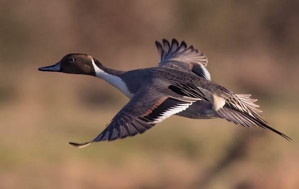 Шилохвость-птица-Описание-особенности-виды-образ-жизни-и-среда-обитания-шилохвости-9