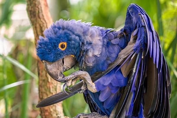 Синий-попугай-Описание-особенности-виды-поведение-и-домашнее-содержание-птицы-1