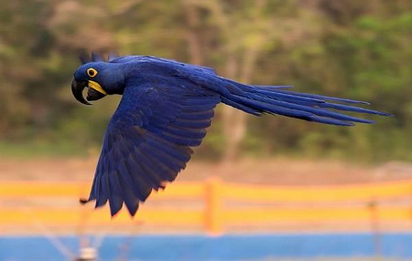 Синий-попугай-Описание-особенности-виды-поведение-и-домашнее-содержание-птицы-12