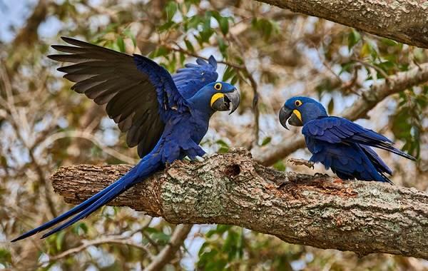 Синий-попугай-Описание-особенности-виды-поведение-и-домашнее-содержание-птицы-14