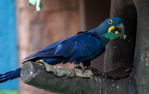 Синий-попугай-Описание-особенности-виды-поведение-и-домашнее-содержание-птицы-15