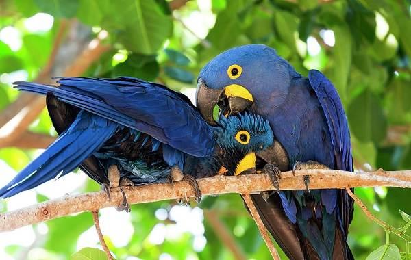 Синий-попугай-Описание-особенности-виды-поведение-и-домашнее-содержание-птицы-16