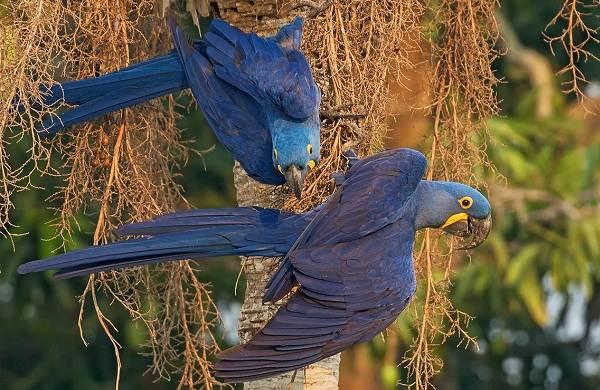 Синий-попугай-Описание-особенности-виды-поведение-и-домашнее-содержание-птицы-18